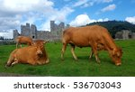 brown dairy cows and green... | Shutterstock . vector #536703043