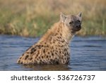 hyena taking a bath in moremi... | Shutterstock . vector #536726737