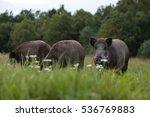 herd of wild boars. wild pigs ... | Shutterstock . vector #536769883
