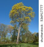 Small photo of Norway Maple (Acer platanoides) in Verkiai park, Lithuania