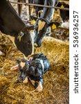 cows lick a newborn calf clean... | Shutterstock . vector #536936257