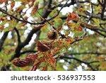 chestnut tree   Shutterstock . vector #536937553