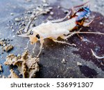 close up of molting cockroach | Shutterstock . vector #536991307