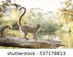 lemur in their natural habitat  ... | Shutterstock . vector #537178813