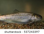Rainbow Trout  Oncorhynchus...