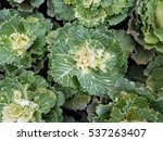 Small photo of Brassica, oleracea, var., acephala