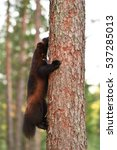 Small photo of Wolverine climbing up on a tree