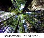 under the redwood trees in... | Shutterstock . vector #537303973