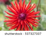 red garden dahlia flower on... | Shutterstock . vector #537327337