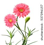 Small photo of african daisy (gerbera) isolated on white