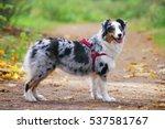 blue merle australian shepherd... | Shutterstock . vector #537581767