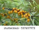 sea buckthorn berries on branch | Shutterstock . vector #537657973