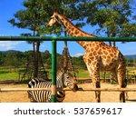 Giraffes And Zebras In The Sam...