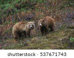 pair of grizzly bears | Shutterstock . vector #537671743