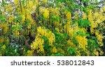 yellow flower laburnum. bushy... | Shutterstock . vector #538012843