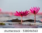 Red Lotus Sea At Sun Light...