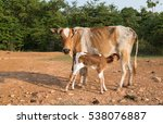 brown cow and calf suckling | Shutterstock . vector #538076887