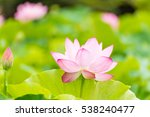 The Lotus Flower.background Is...