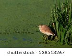 squacco heron  ardeola... | Shutterstock . vector #538513267
