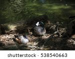 Small photo of American widgeon ducks (Anas americana)