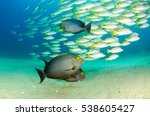 Small photo of (Acanthurus xanthopterus) Yellowfin or purple Surgeonfish in a shipwreck. reefs of the Sea of Cortez, Pacific ocean. Cabo Pulmo, Baja California Sur, Mexico. The world's aquarium.