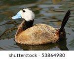 White Headed Duck   Stiff...