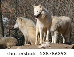 Pack Of White Arctic Wolves