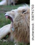 A Big Pure White Male Lion...