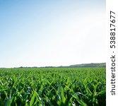 corn field agriculture. green... | Shutterstock . vector #538817677