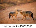 pair of indian jackals  canis... | Shutterstock . vector #538825963
