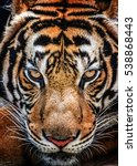 tiger and his eyes fierce. | Shutterstock . vector #538868443