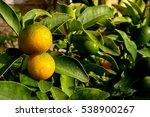 kumquat fortunella margarita | Shutterstock . vector #538900267