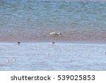 eurasian spoonbill feeding in... | Shutterstock . vector #539025853