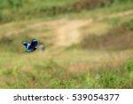 Indain Roller Bird Flying