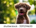 Stock photo portrait of happy brown cute labrador retriever puppy dog with sunset bokeh background 539194633