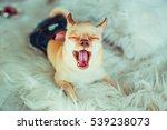 Funny Chihuahua Yawns Resting...