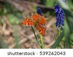 Polygonia C Album On A Flower....