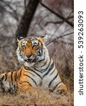 portrait of a bengal tiger.... | Shutterstock . vector #539263093