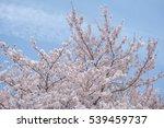 cherry blossom  | Shutterstock . vector #539459737