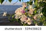 white bougainvillea sea sky... | Shutterstock . vector #539658823