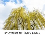 Yellow Leaved Willow Tree With...