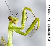 Crimean Mantis Macro Insect