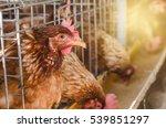 brown chicken egg or hen in the ... | Shutterstock . vector #539851297