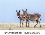 Mannar Donkey In Kalpitiya...