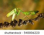 Matins Eating Mantis  Two Gree...
