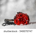 Red Rose Over Snow.