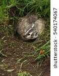 Small photo of North American Badger (Taxidea taxus) Turns in Den - captive animal