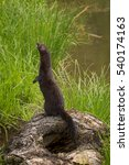 Small photo of Adult American Mink (Neovison vison) Stands Up to Left - captive animal