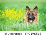 Stock photo portrait of a german shepherd in yellow flowers 540196513