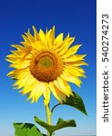 Small photo of Yellow sunflower in summer afield with blue sky